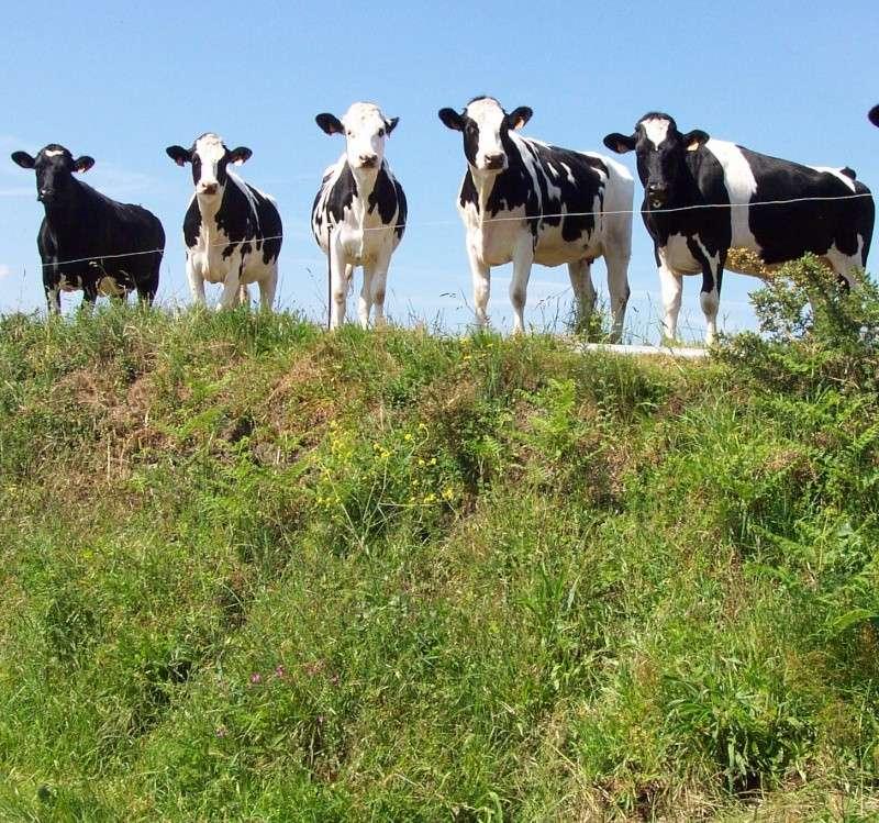 Les vaches Dcp_0310