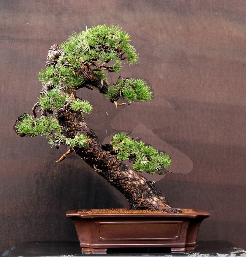 Pinus uncinata in a classic Japanese style  Japan_10