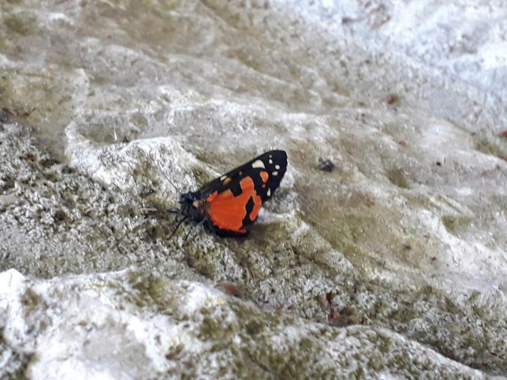 Papillon rouge et noir [Callimorpha dominula] 6b4aaf10