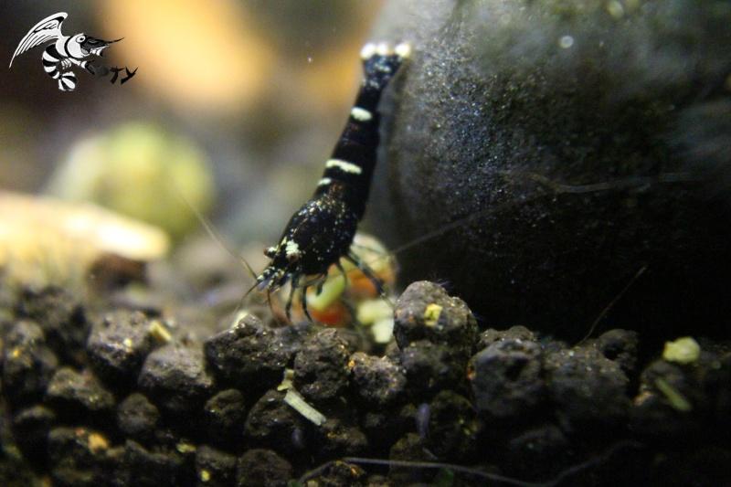 Les crevettes à opty  - Page 5 Img_4811