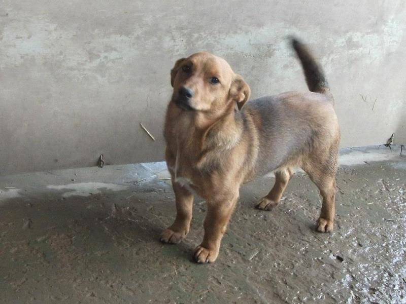 BIGY mâle Basset x Pinscher 1 an et demi 9kg (Becej) (Serbie) 10053810