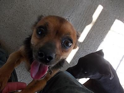 Adoption mamie de 12 ans x pinscher/chihuahua (07)(opération doyen) Dscn0111