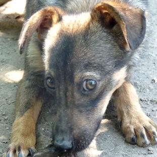 PEPITO mâle X Pinscher 1 an 10kg (Becej) (Serbie) Pepito10