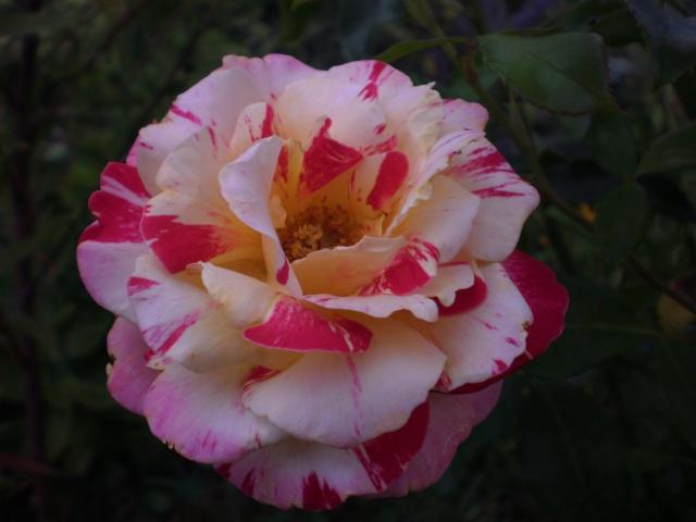 rosier 'Camille Pissaro' Photo_45