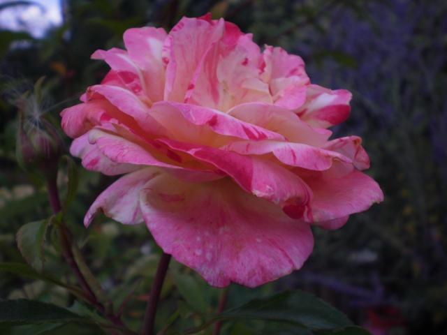 rosier 'Camille Pissaro' Photo_46