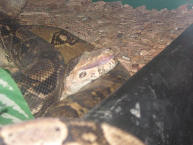 Pétitions en ligne Pour la fermeture de la jungle aux reptiles  Boa_ex10