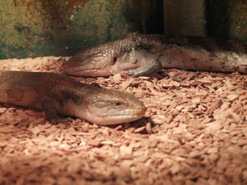 Pétitions en ligne Pour la fermeture de la jungle aux reptiles  Scinqu10