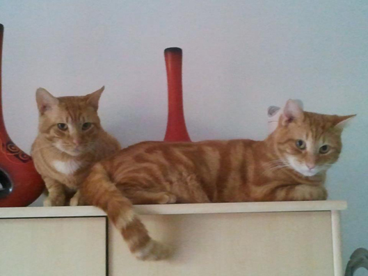 Karamel et Moustik, deux beaux minous roux de Montpellier (34) 3radui11