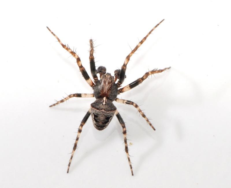 petite araignée environ  5 ou 6 m/m sans les pattes A_04511