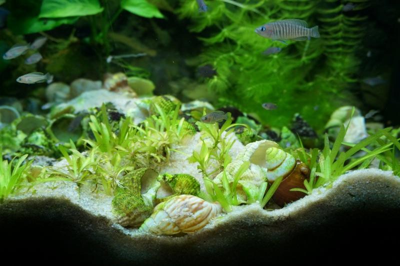 Tanganyika spécifique Neolamprologus multifasciatus Dsc00316