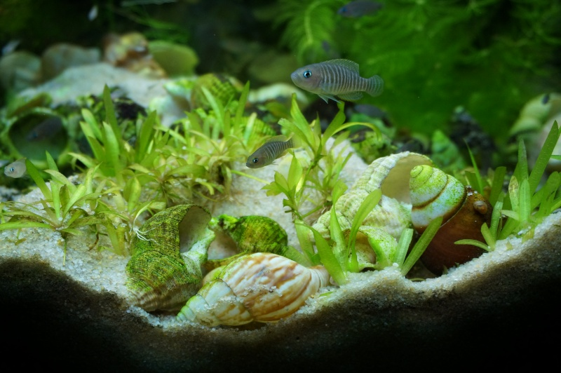 Tanganyika spécifique Neolamprologus multifasciatus Dsc00317