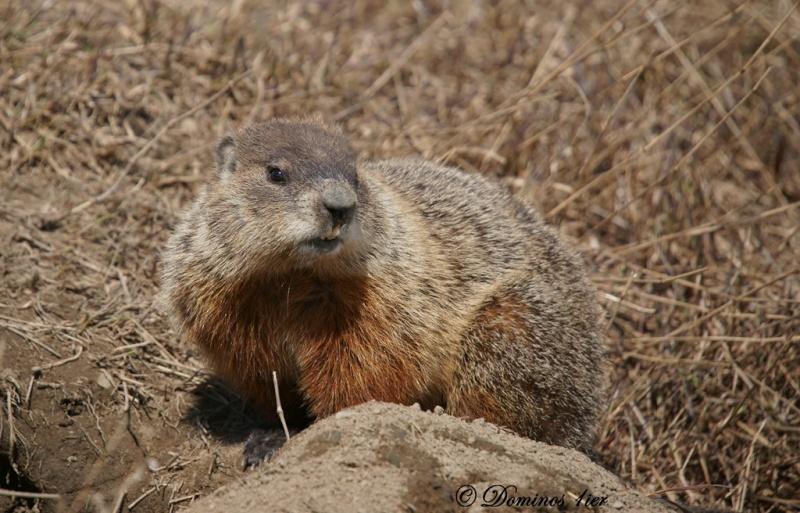 Marmotte Dsc03113