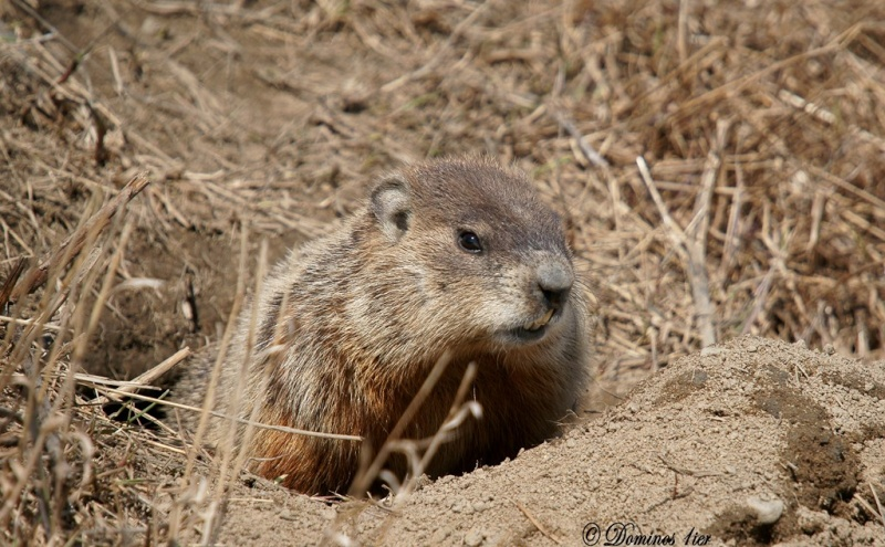 Marmotte Dsc03114