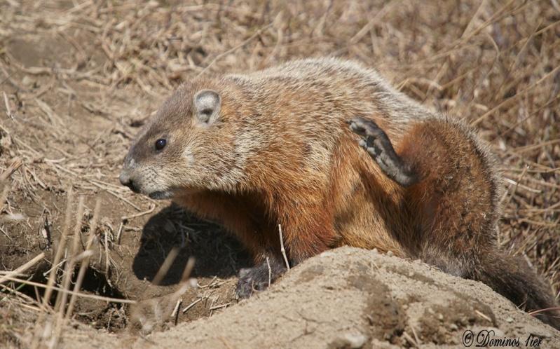 Marmotte Dsc03115