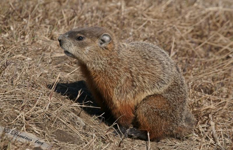 Marmotte Dsc03116