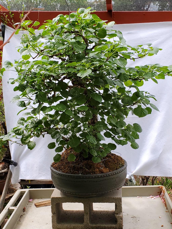 Hydrangea petiolaris -Climbing Hydrangea Bonsai 20210517