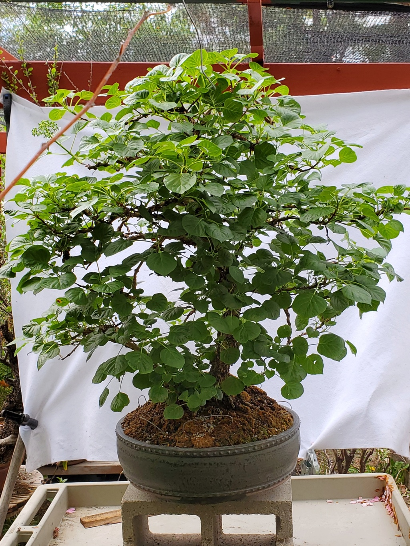 Hydrangea petiolaris -Climbing Hydrangea Bonsai 20210518