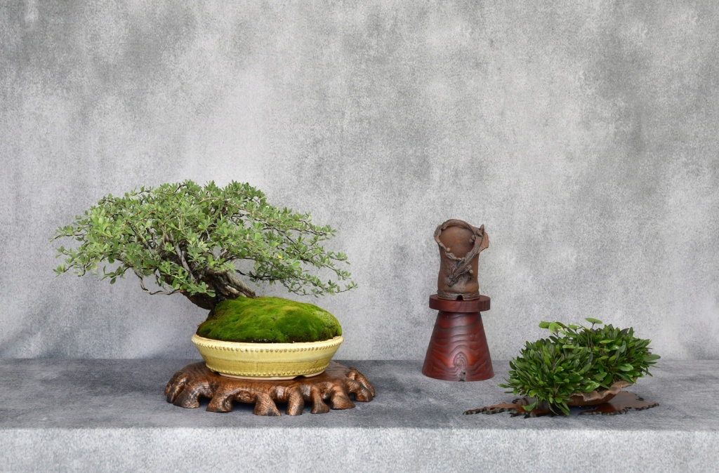 Colorado Bonsai – Mountain Mahogany – Cercocarpus breviflorus Gray var. breviflorus Bonsai _dsc3510