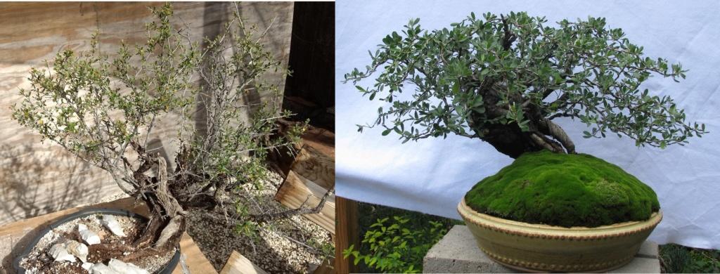 Colorado Bonsai – Mountain Mahogany – Cercocarpus breviflorus Gray var. breviflorus Bonsai Compar11