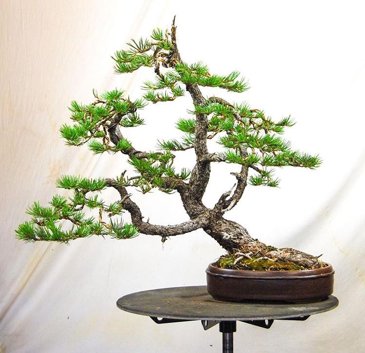Todd Schlafer - Stolen Limber Pine Bonsai Image010