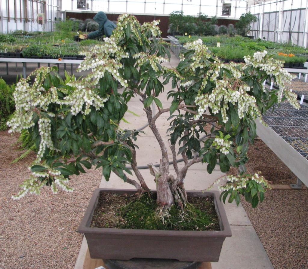 Pieris japonica Bonsai Img_3610