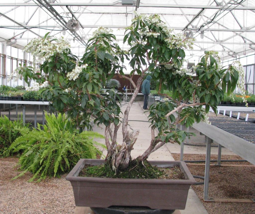 Pieris japonica Bonsai Img_3611