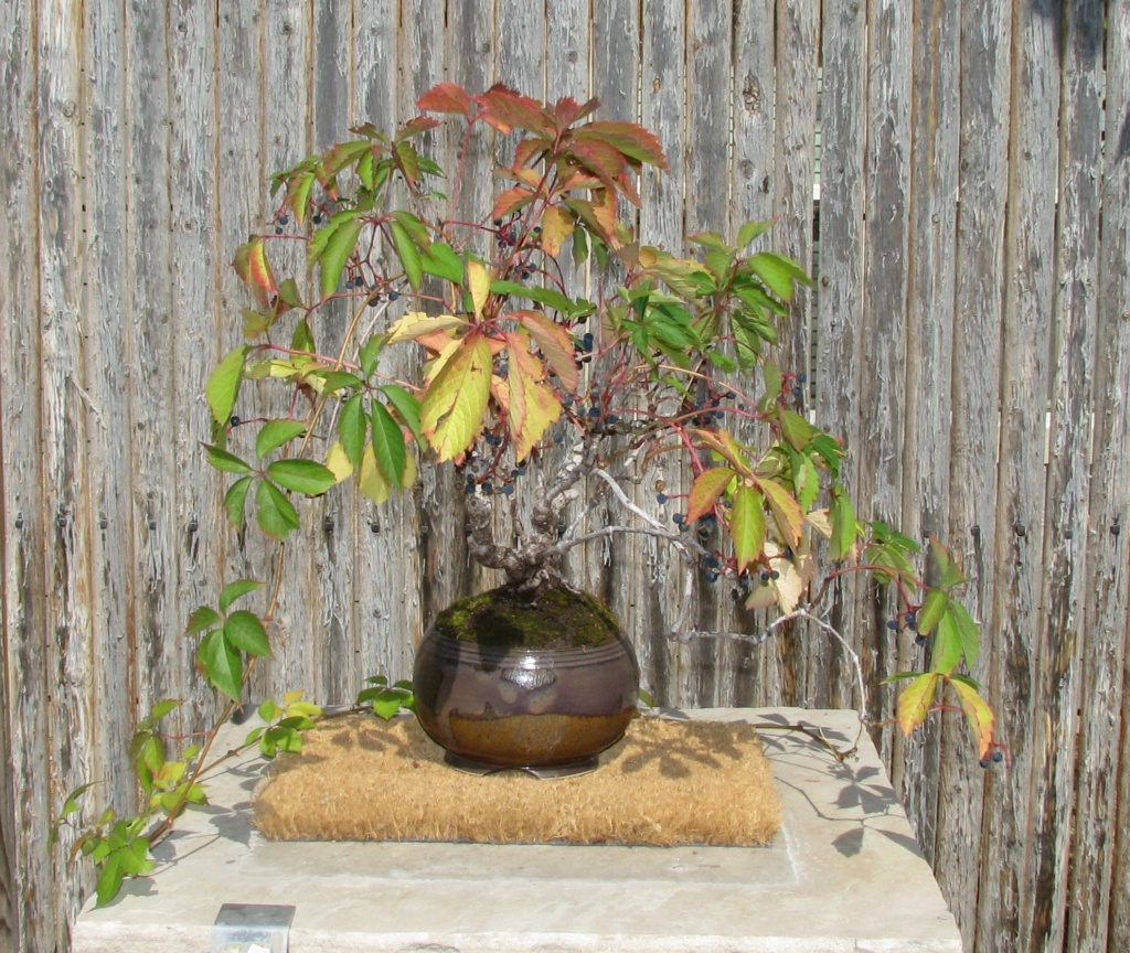 Parthenocissus quinquefolia – Virginia Creeper Bonsai Img_5710