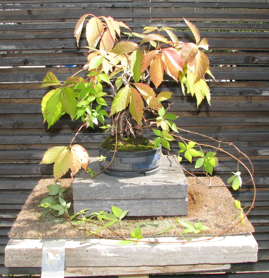 Parthenocissus quinquefolia – Virginia Creeper Bonsai Img_5711