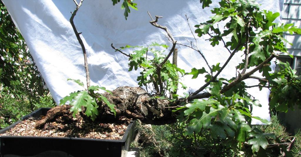 Quercus gambelii – Scrub / Gambel Oak Img_6910
