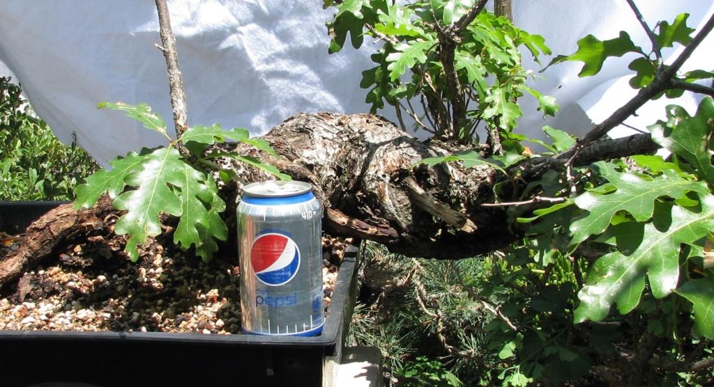Quercus gambelii – Scrub / Gambel Oak Img_6911