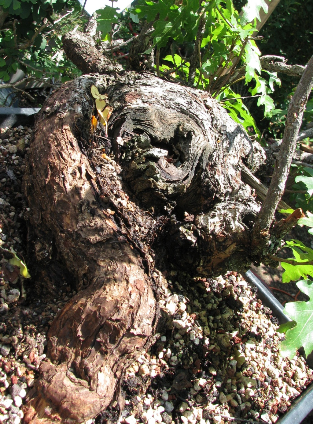 Quercus gambelii – Scrub / Gambel Oak Img_6912
