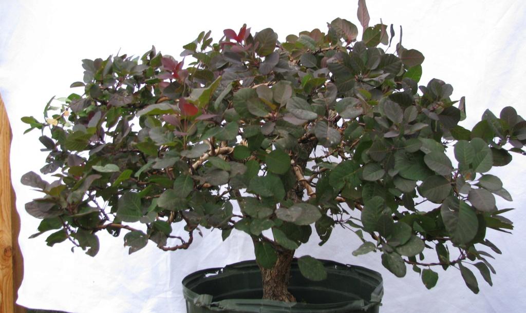 Cotinus coggygria – Purple Smoke Bush Img_6913