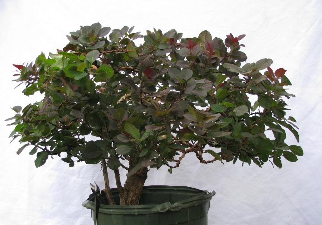 Cotinus coggygria – Purple Smoke Bush Img_6914