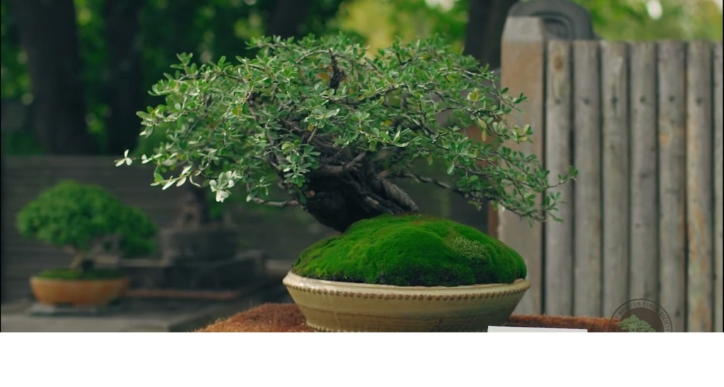 Colorado Bonsai – Mountain Mahogany – Cercocarpus breviflorus Gray var. breviflorus Bonsai Mtnmah10