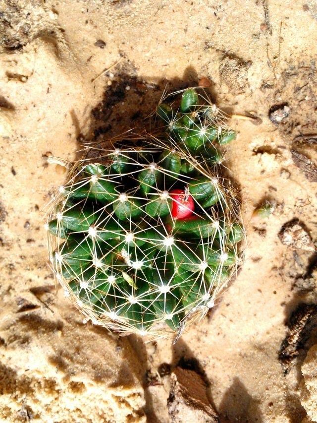 Mammillaria heyderi ssp? Img_8410