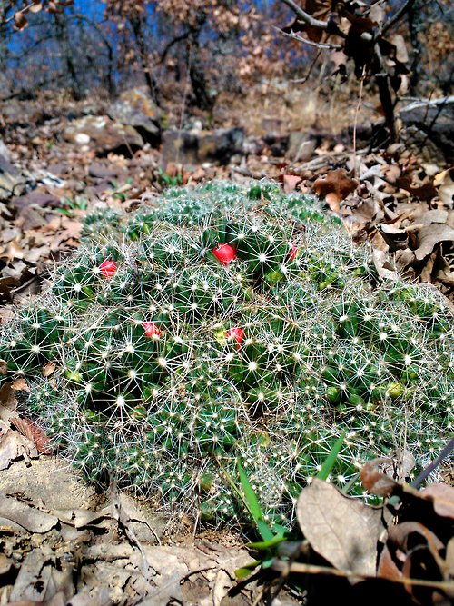 Mammillaria heyderi ssp? Tumblr10