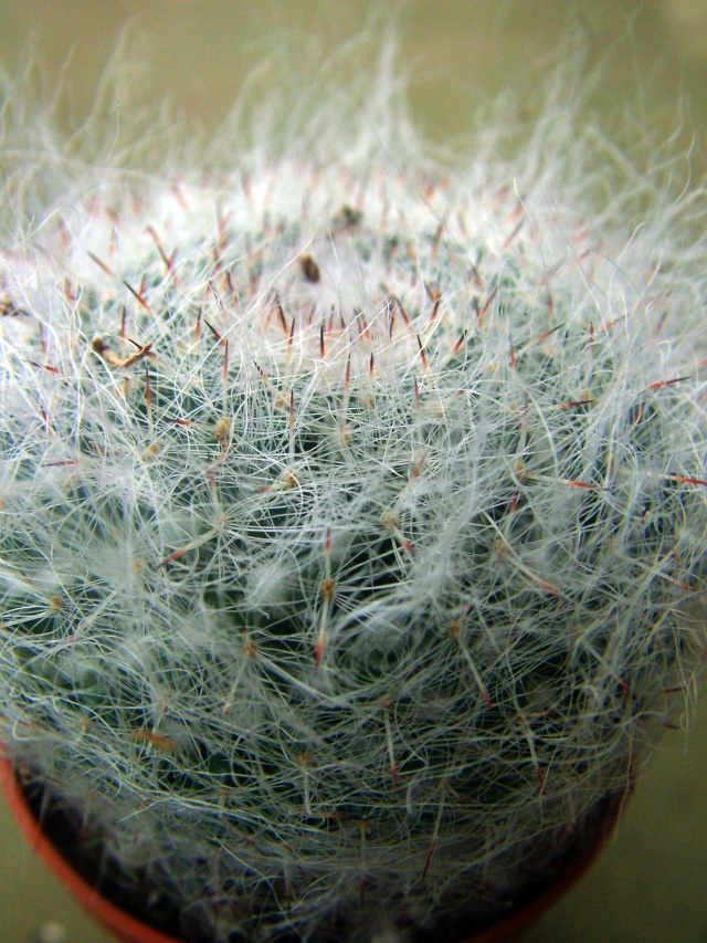 a new Mammillaria for ID 2013_011