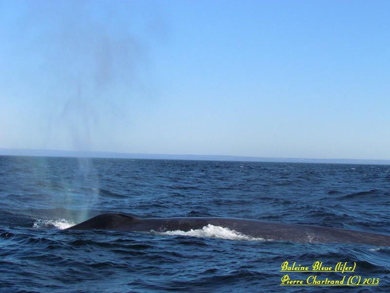 Tadoussac vive la Grande Bleue Balein11