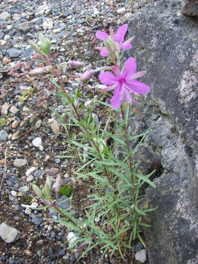 Epilobium dodonei 2 [identification] Fleurs10