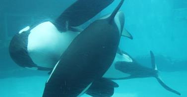 Des nouvelles des orques du Port of Nagowa Aquarium, Japon - Page 2 99924610