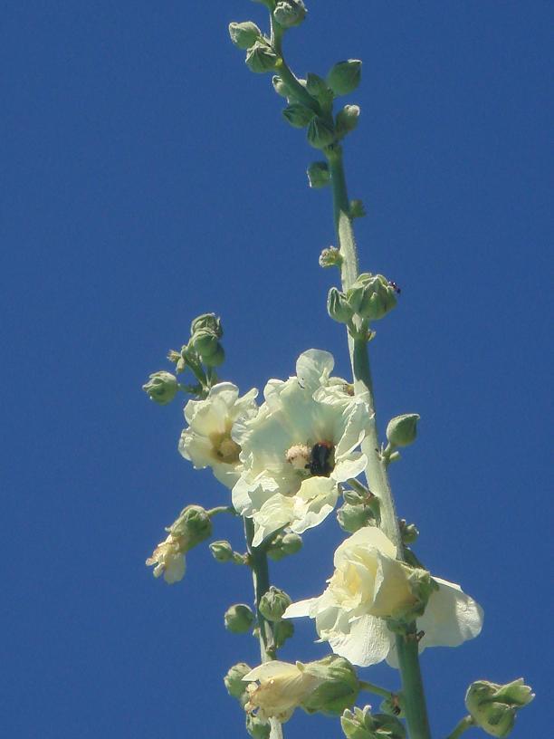 Les roses trémières (Alcea rosea) Dsc00711