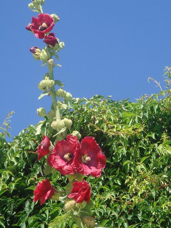 Les roses trémières (Alcea rosea) - Page 2 Dsc00712