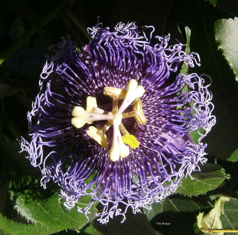 """Passiflora - Passionsblume - kleine """"Juwelen"""" - alles über Aussaat, Pflege, Vermehrung und natürlich Blütenbilder :) - Seite 34 _byron11"""