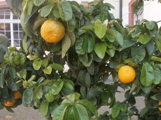 Citrus - alles über Orangen, Zitronen, Limetten, Kumquats: Aussaat, Stecklinge u.v.m. - Seite 7 _crisp10