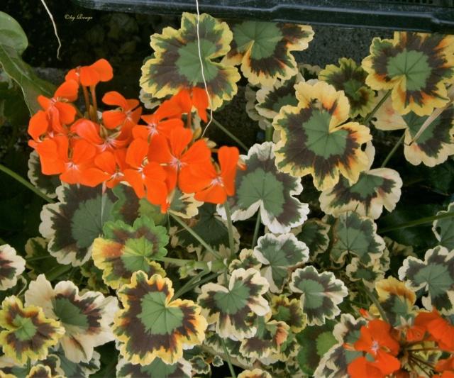 Pelargonium - Pelargonien - alle nichtsukkulenten Arten und Sorten - Aussaat - Stecklinge - Seite 21 _mrs_p10