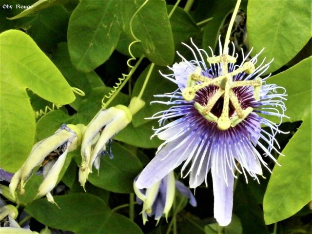 """Passiflora - Passionsblume - kleine """"Juwelen"""" - alles über Aussaat, Pflege, Vermehrung und natürlich Blütenbilder :) - Seite 28 _purpl10"""