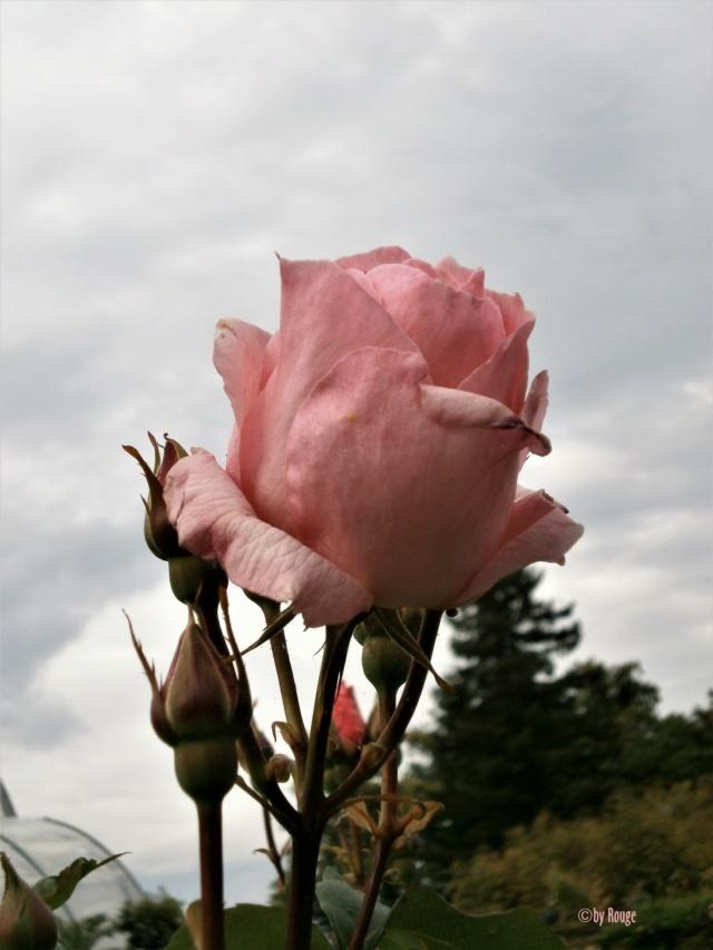"""Rosen - ein Thread für die """"Königin"""" - Seite 13 _the_q10"""
