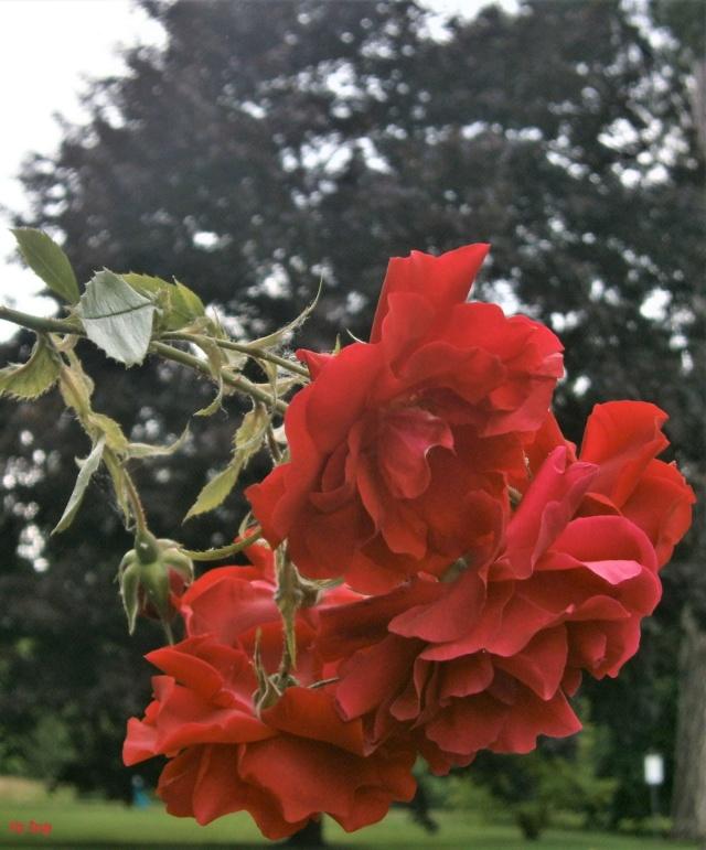 """Rosen - ein Thread für die """"Königin"""" - Seite 13 _tradi10"""
