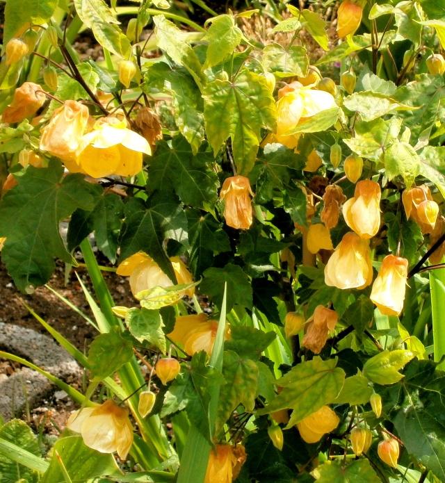 Malvengewächse - ohne Hibiscus Abutil10