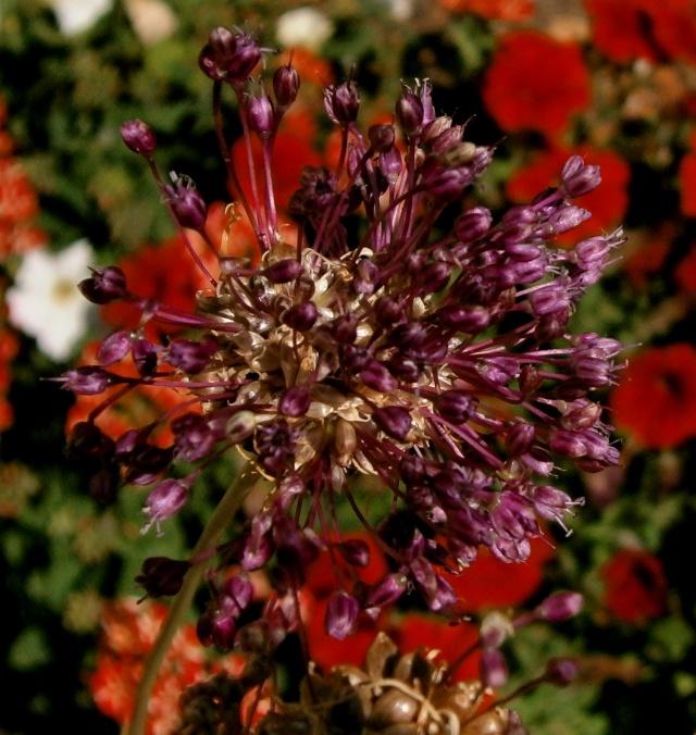 Amaryllisgewächse - Amaryllidaceae (Hippeastren, Nerine, Amaryllis, Agapanthus und auch Allium & Narzissen) - Seite 6 Allium10